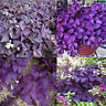 HD_ 10 Pcs Shamrock Oxalis Triangularis Bulbs Easy to Plant Leaf Flower Seeds Fi