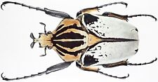 Insect - CETONIDAE Goliathus cacicus - No.2 - Ivory coast - Male 73mm ....!!