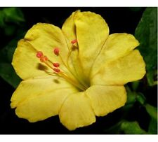 60 graines BELLE DE NUIT JAUNE( Mirabilis Jalapa)X315 YELLOW FOUR O' CLOCK SEEDS