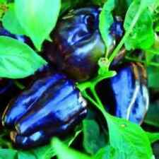 Purple Beauty Sweet Bell Pepper Seeds! SEE OUR STORE! COMBINED S/H!