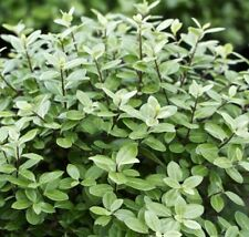 GOLFBALL Pittosporum hardy fast dense hedging waterwise plant in 140mm pot