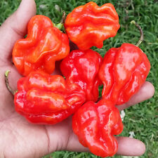 Fijian Bongo Chilli - An Unique, Extremely Hot & Large Chilli from the Pacific!!