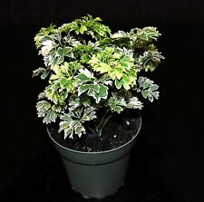 "Snowflake Ming Aralia 'Polyscias fruticose' 4"" Pot EXCELLENT Bonsai 3 Plants/Pot"