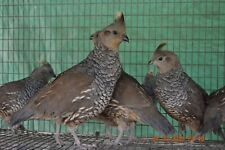 6++ Blue Scale Quail Hatching Eggs