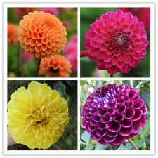 Dahlia Pompon Mix 10seeds*Dahlia Variabilis*Cut Flower *Easy grow* Annual CombSH