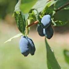 Lonicera Caerulea edulis Berry Rare Haskap Organic Delicacy Kitchen - 40 Seeds