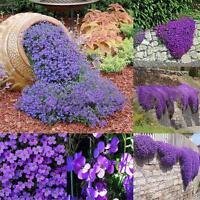 220pcs Aubrieta Deltoidea Samen Romantische Lila Senf Blumensamen Garten Pl U0Y3