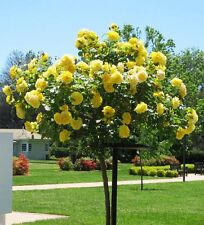 100 Yellow Rose tree Seeds, DIY Home Garden Potted ,Balcony & Yard Flower Plant