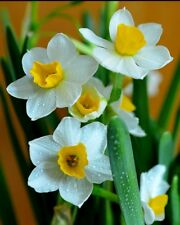 Shui Xian Hua, Narcissus Tazetta, Fragrant, Chinese Scared Lily, 6 Bulbs