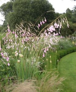 Dierama pulcherrimum - ANGELS FISHING ROD - 3 PLUG PLANTS - FREE POSTAGE