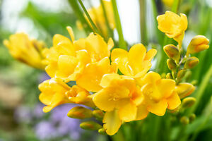 20x Freesia YELLOW Bulbs Summer Flowering Garden Plant Corms Fragrant Cut Flower