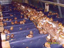 Live Snails ( Reptile Live Food ) - 100 medium size snails