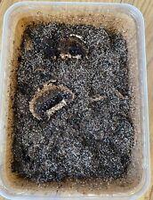 Live Springtail Starter Colony - 1500+ springtails Bio Active 1 Litre Tubs 250g