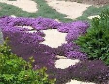 H061 Creeping Thyme Bulk x500 seeds Perennial Culinary Ground Cover Medicinal