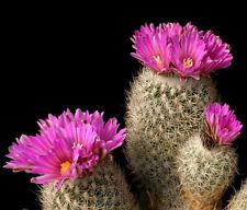 Turbinicarpus Beguinii Senilis exotic cactus rare succulent gymnocactus 10 SEEDS