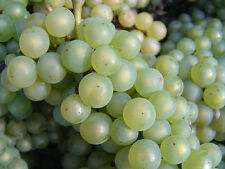 20 seeds of Catawba grape, great for eating, sweet white grapes great producer