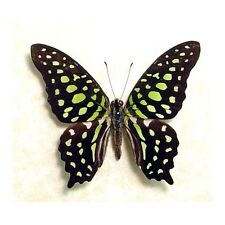 Real Framed Graphium Agamemnon Green Spotted Triangle Butterfly 247