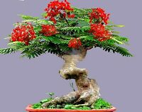 Bonsai Flamboyant Flame Tree Seeds to Grow | 10 Seeds | Delonix regia, Prized