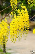 Cassia fistula golden shower tree Ornamental tree Yellow ,Kanikonna 10 seeds
