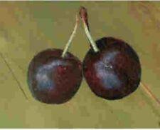 New listing Dwarf Sweet Bush Cherry tree fruit quick shrub edible berry Live Plant