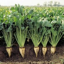 100+ Sugar Beet Seed Heirloom NON-GMO Sweet White Cold Tolerant Fast shipping US
