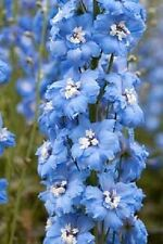 25+ Sky Blue w/White Bee Delphinium Flower Seeds / Perennial