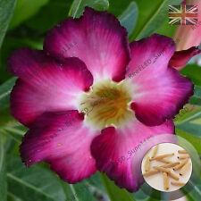 """Siam Violet"" Adenium Obesum Desert Rose 5 Seeds, Fresh Viable, UK Supply"