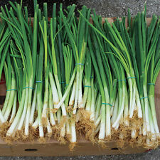 Certified Organic White Lisbon Onion Seed 200ct Bunching onion for green onions
