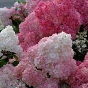 HYDRANGEA PANICULATA 'SUNDAY FRAISE'- PLANT - APPROX 4-8 INCH-DORMANT