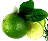 "KAFIRLIMETTE, LIMONE, Limette ""Citrus hystrix"" Pflanze 40 cm , Blätter essbar"