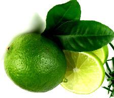 """KAFIRLIMETTE, LIMONE, Limette """"Citrus hystrix""""essbar,BIO Pflanze 40 cm verzweigt"""