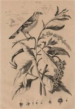 PLANTS. Phytolaque (Pokeweed). Phytotoma (Rufous-tailed Plantcutter) 1834