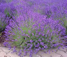 ENGLISH LAVENDER Lavandula Angustifolia - 10,000 Bulk Seeds