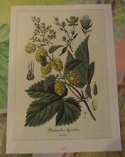 Ancienne Planche Botanique d'après Gaston Bonnier Houblon
