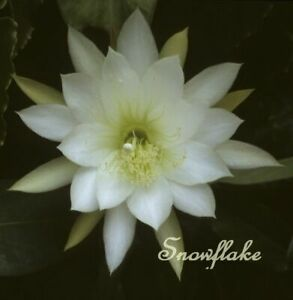 EPIPHYLLUM Orchid Cactus Succulent - Snowflake EH28 - Cutting (Will Combine Post