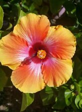 EXOTIC HAWAIIAN SUNSET~FIESTA HIBISCUS LIVE PLANT 7 TO 10 INCHES TALL