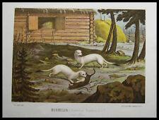 HERMELIN - Hermeline im Winterpelz. Originale Farblithographie 1880
