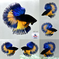 Live Betta Fish OT143 Blue Mustard Gas Rose Tails HM Premium Rare