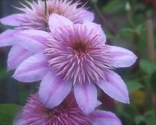 Clematis Empress 'Evipo011' Double pink flower sport of Josephine Neonic-Free!
