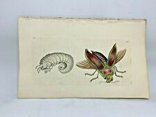 Great Buprestis - 1783 RARE SHAW & NODDER Hand Colored Copper Engraving