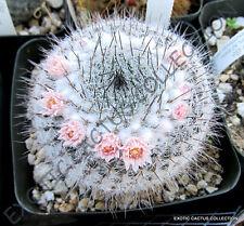 MAMMILLARIA RITTERIANA @ exotic rare cactus cacti plant pincushion seed 20 SEEDS