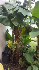 "10 inches tall Banana Plant ""DWARF "" LIVE PLANT only grow 8 to 9 feet as adult."