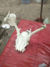 6 Point White Tail Deer Skull