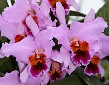 Cattleya percivaliana (Karen Graf x Summit) With 4 Sheaths Species Orchid Plant