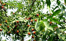 Eigenes Obst ernten :  Winterharte Chinesische Dattel // Kumul-Dattel // Saatgut