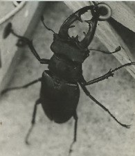 Stag beetle Vintage silver Print Tirage argentique  12x14  Circa 1960