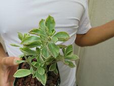 Variegated Cuban Oregano Succulent -B