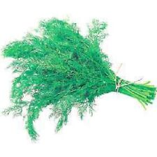 Dill, Anethum Dukat Seed, Herb, 2g Approx  1200seeds