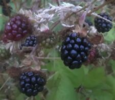 3 Himalayan Blackberry Plants about 1-3 feet tall. large root system