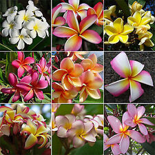 Frangipani Plumeria Rubra 10 SEEDS MIXED COLORS Hawaiian lei flower CombSH M76